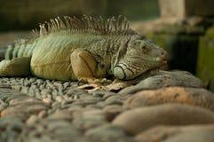 Grande iguana Fotografia de Stock