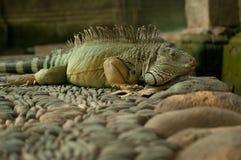 Grande iguana Imagem de Stock Royalty Free