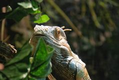 Grande iguana Fotografia Stock