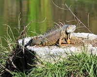 Grande iguana adulta su roccia Fotografie Stock Libere da Diritti
