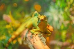 Grande iguana bonita Fotos de Stock Royalty Free