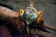 Grande iguana che prende il sole su un ramo Fotografia Stock