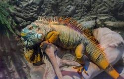 Grande iguana che prende il sole su un ramo Fotografie Stock Libere da Diritti