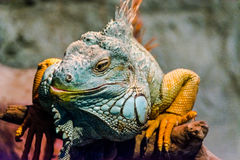 Grande iguana che prende il sole su un ramo Immagine Stock Libera da Diritti