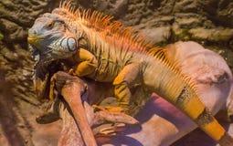 Grande iguana che prende il sole su un ramo Fotografie Stock