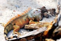 Grande iguana con la bocca aperta Fotografie Stock