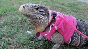 Grande iguana dell'animale domestico Fotografia Stock Libera da Diritti