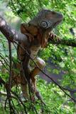 Grande iguana marrone sull'albero Fotografia Stock