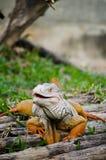 Grande iguana nella sosta. Fotografie Stock