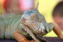 Grande iguana no indicador na mostra dos animais selvagens Fotografia de Stock Royalty Free
