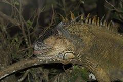 Grande iguana que dorme na árvore em Coasta Rica fotografia de stock royalty free