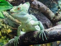 Grande iguana sul ramo di legno dell'albero in zoo 2014 a Riga Lettonia Fotografia Stock