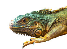 Grande iguana sull'isolato su Fotografie Stock Libere da Diritti