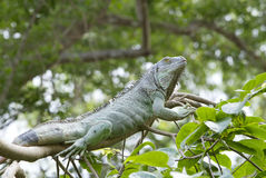 Grande iguana verde Fotografie Stock