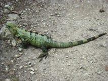 Grande iguana verde di Chichen Itza fotografia stock