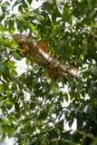 Grande, iguana verde maschio arancione che riscalda negli alberi Fotografie Stock Libere da Diritti
