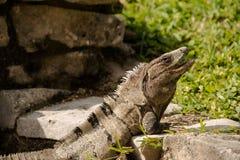 Grande iguana verde que expõe-se ao sol em ruínas de Tulum em México Foto de Stock Royalty Free