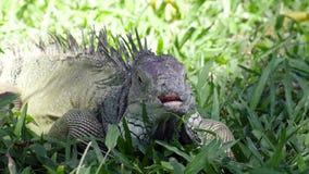 Grande iguana verde su un'erba verde stock footage