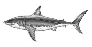Grande illustration de gravure de vintage de dessin de main de requin blanc illustration libre de droits