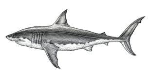 Grande ilustração da gravura do vintage do desenho da mão do tubarão branco ilustração royalty free