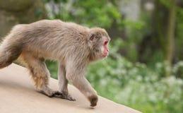A grande imagem de um macaco pequeno Imagens de Stock Royalty Free