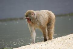 A grande imagem de um macaco pequeno Fotografia de Stock