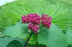 Grande inflorescenza rosa sui precedenti di Fotografia Stock