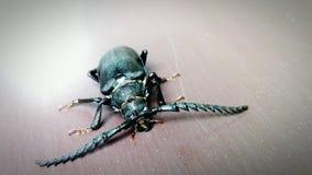 Grande insetto baffuto Fotografia Stock