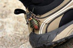 Grande insetto sui miei stivali d'escursione Fotografia Stock Libera da Diritti