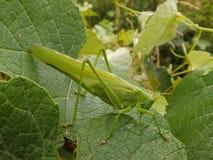 Grande insetto verde Fotografie Stock Libere da Diritti