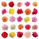 Grande insieme delle rose Immagini Stock