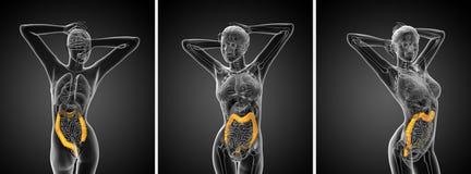 Grande intestino Foto de Stock Royalty Free