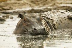Grande, ippopotamo fangoso in letame e fango fotografie stock libere da diritti