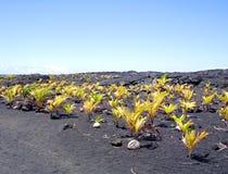 grande isola dell'Hawai del boschetto della noce di cocco nuova fotografia stock