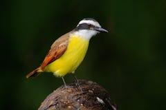 Grande Kiskadee, sulphuratus de Pitangus, pássaro de Costa Rica Tanager amarelo tropico exótico com cabeça branca e preta, La Paz imagem de stock