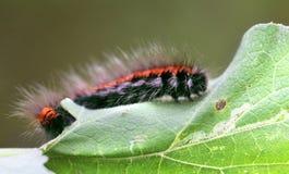 Grande lagarta preta e vermelha Imagem de Stock Royalty Free