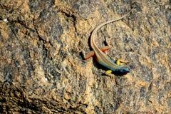 Grande lagarto multi-colorido que senta-se em uma pedra imagem de stock royalty free