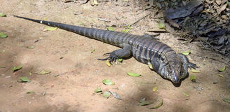 Grande lagarto que expõe-se ao sol no assoalho da floresta Fotos de Stock Royalty Free