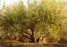 Grande, largamente e vecchio di olivo immagine stock libera da diritti