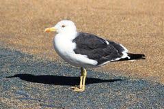Grande Larus com o dorso negro Marinus da gaivota Foto de Stock Royalty Free
