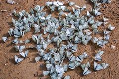 Grande lat fluorescente de Crataegi do aporia da borboleta Crataeg de Aporia Fotos de Stock