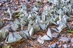 Grande lat fluorescente de Crataegi do aporia da borboleta Crataeg de Aporia Fotografia de Stock Royalty Free