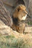 Grande leão na grama 2 fotografia de stock royalty free