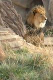 Grande leão na grama 3 foto de stock