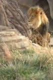 Grande leão na grama 4 fotografia de stock