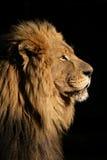 Grande leone africano maschio Fotografie Stock