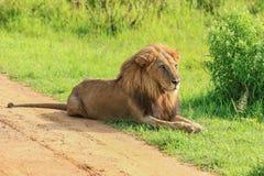 Grande leone africano selvaggio che si appoggia la strada fotografia stock