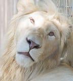 Grande leone bianco fotografie stock libere da diritti
