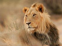Grande leone maschio Fotografia Stock