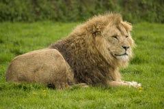 Grande leone maschio Fotografia Stock Libera da Diritti